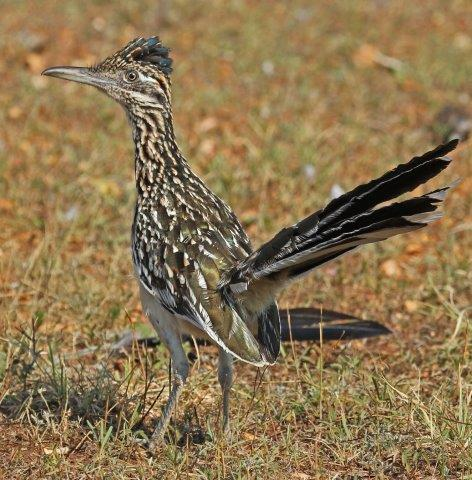 Greater Roadrunner by Terry Fischer