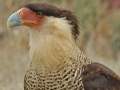 Crested Caracara by Terry Fischer