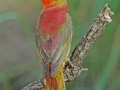 Summer Tanager by Terry Fischer
