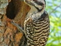 Ladder-backed Woodpecker by Terry Fischer